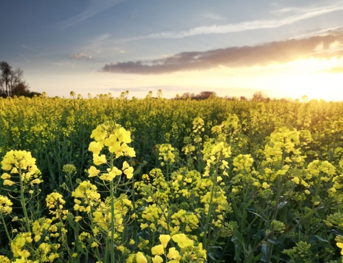 How Good is Canola Oil for You?